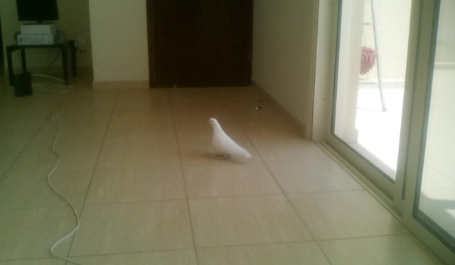 pigeon inside my apartment
